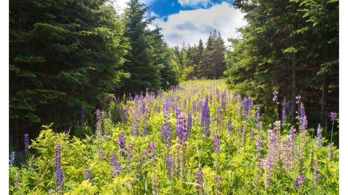 0704 Lupines (1 of 1)