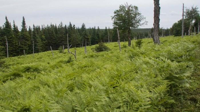 0711 Ferns (1 of 1)