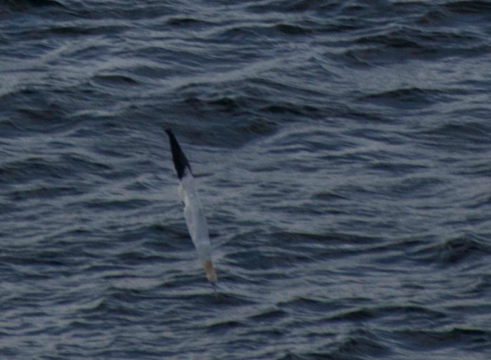0713 A Gannet before entering the water (1 of 1)