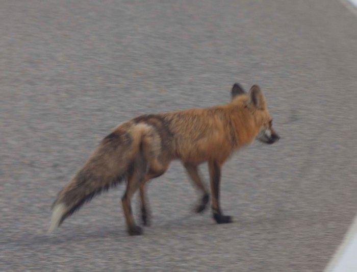 0713 Fox 2 (1 of 1)