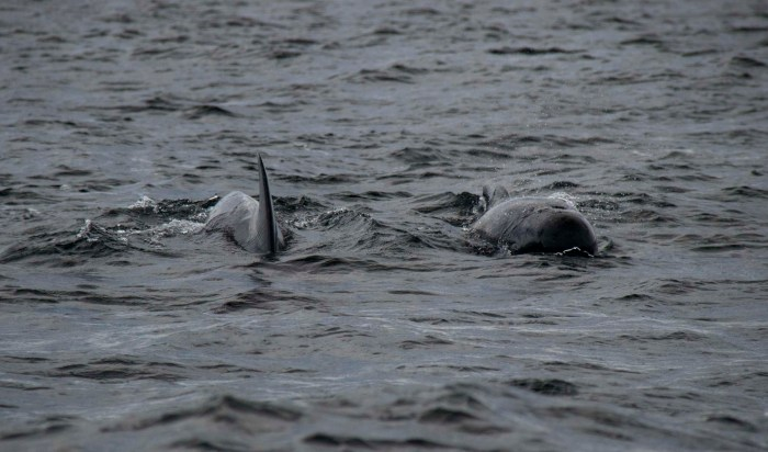 0713 Pilot Whales (1 of 1)