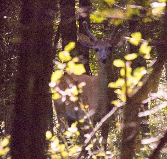 0719 Deer 1 (1 of 1)