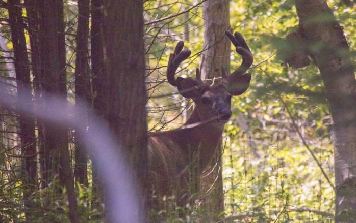 0719 Deer 2 (1 of 1)
