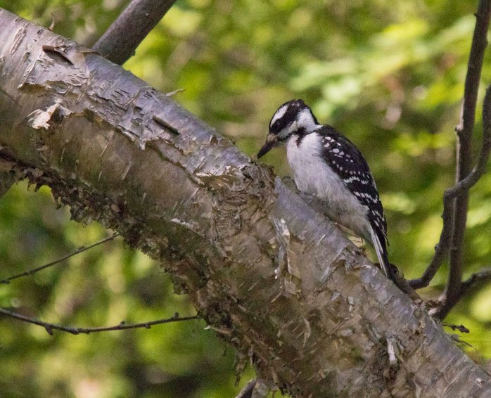 0719 Hairy Woodpecker (1 of 1)