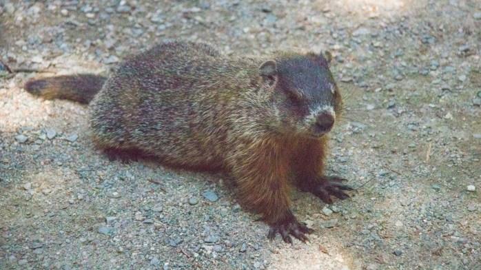 0719 Marmot (1 of 1)
