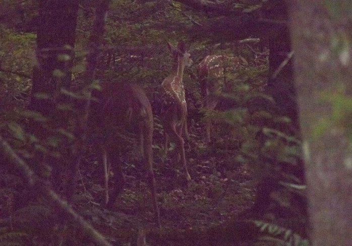 0719 Three deer (1 of 1)