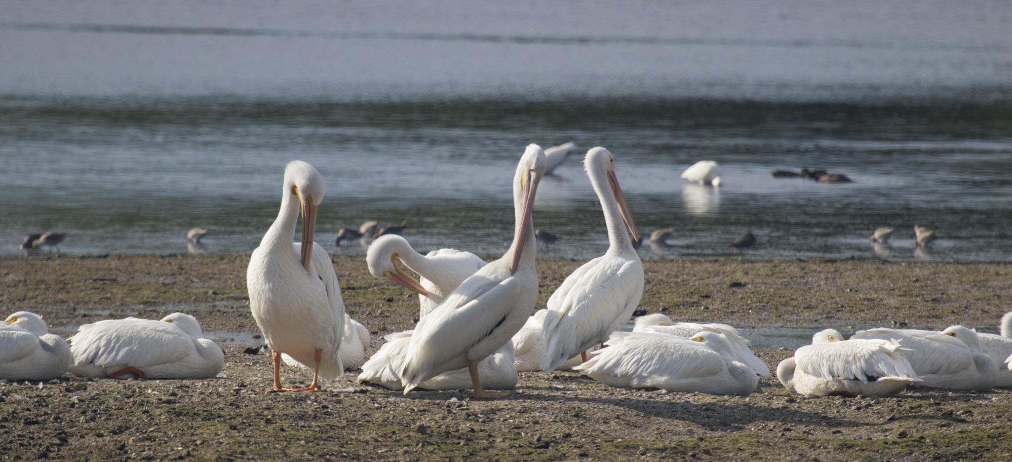 1128 Pelican 2 (1 of 1)