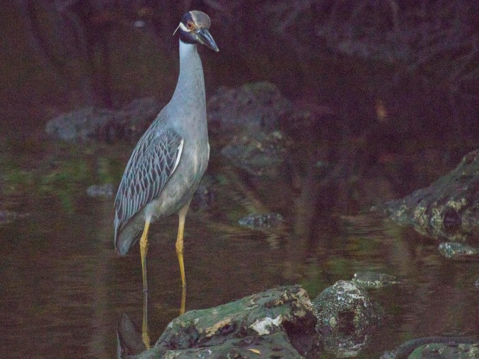 1128 Yellow-crowned Night-Heron (1 of 1)