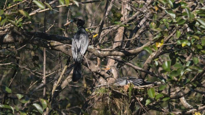 1128B Nesting Anhingas (1 of 1)