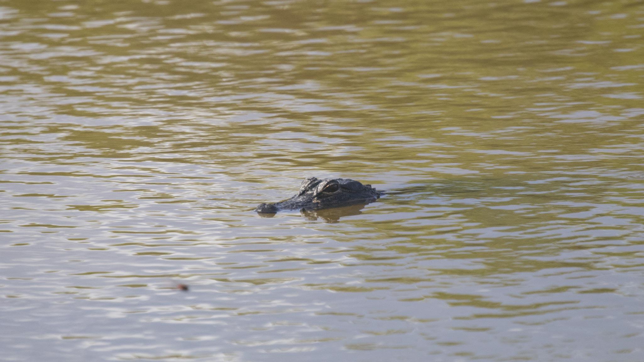 1129 Alligator (1 of 1)