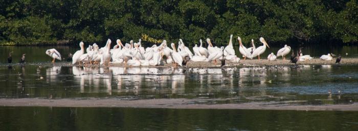 1129 Pelicans (1 of 1)