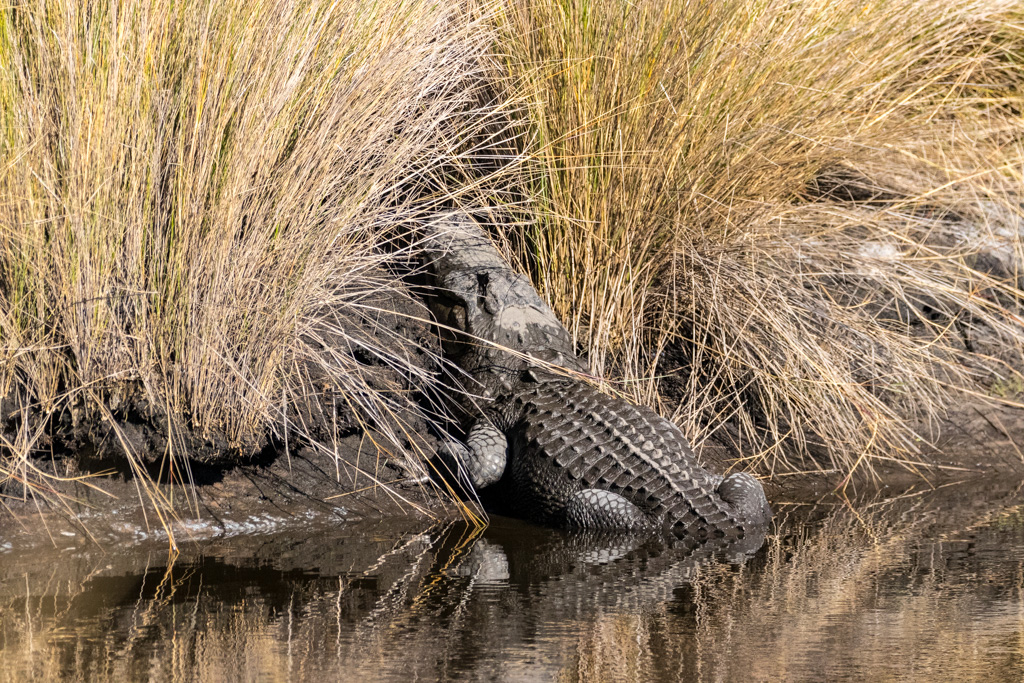 Alligator and St. Marks NWR
