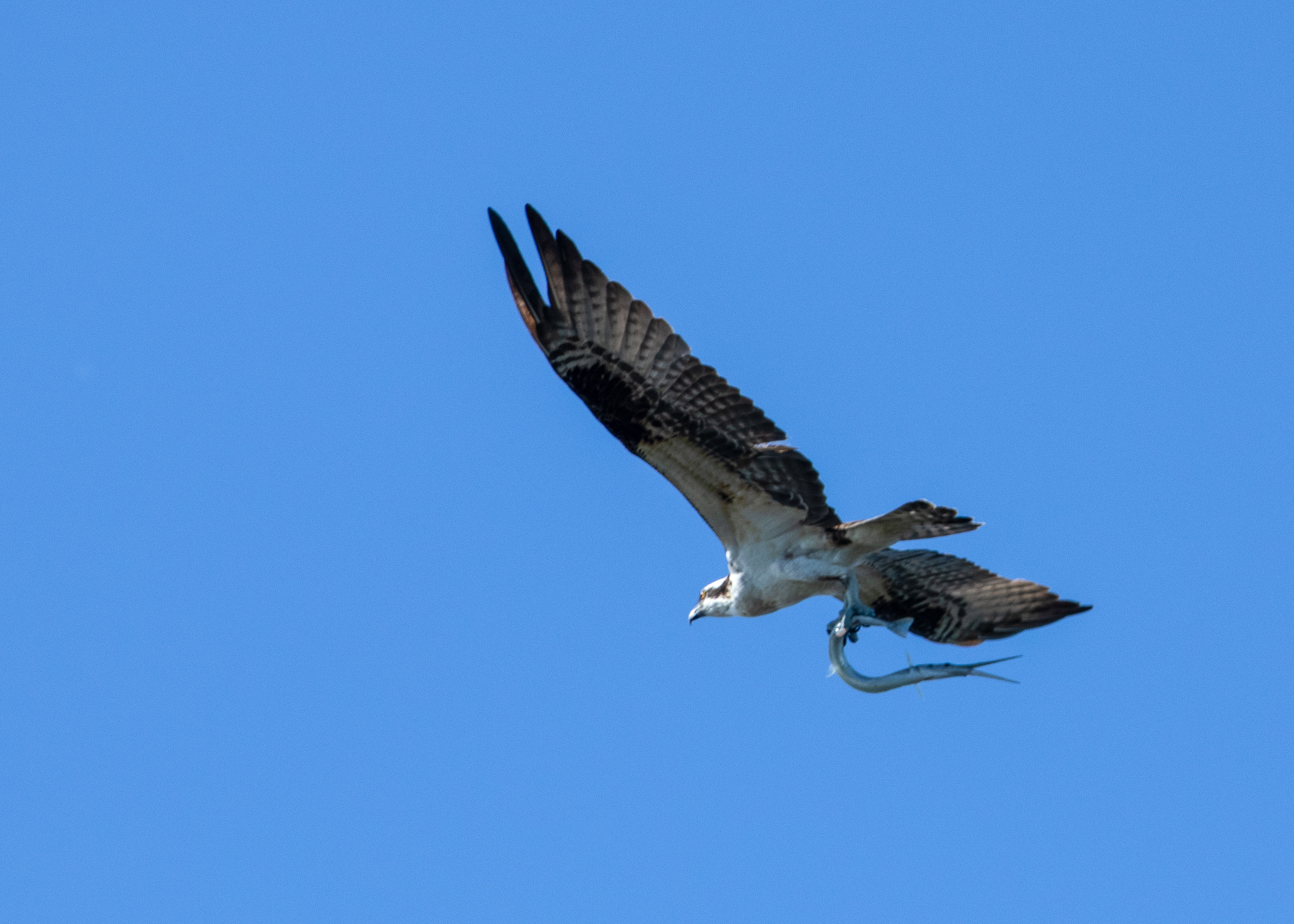 Osprey with Needlefish.