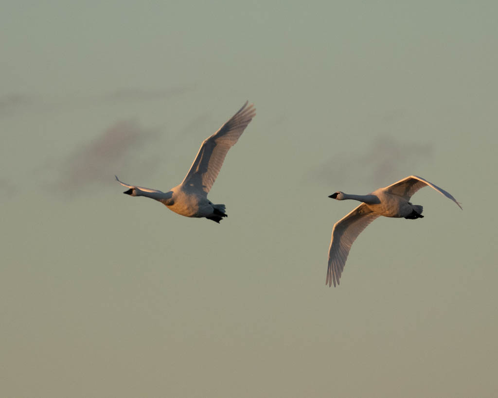 Tundra swans flying at sunset.
