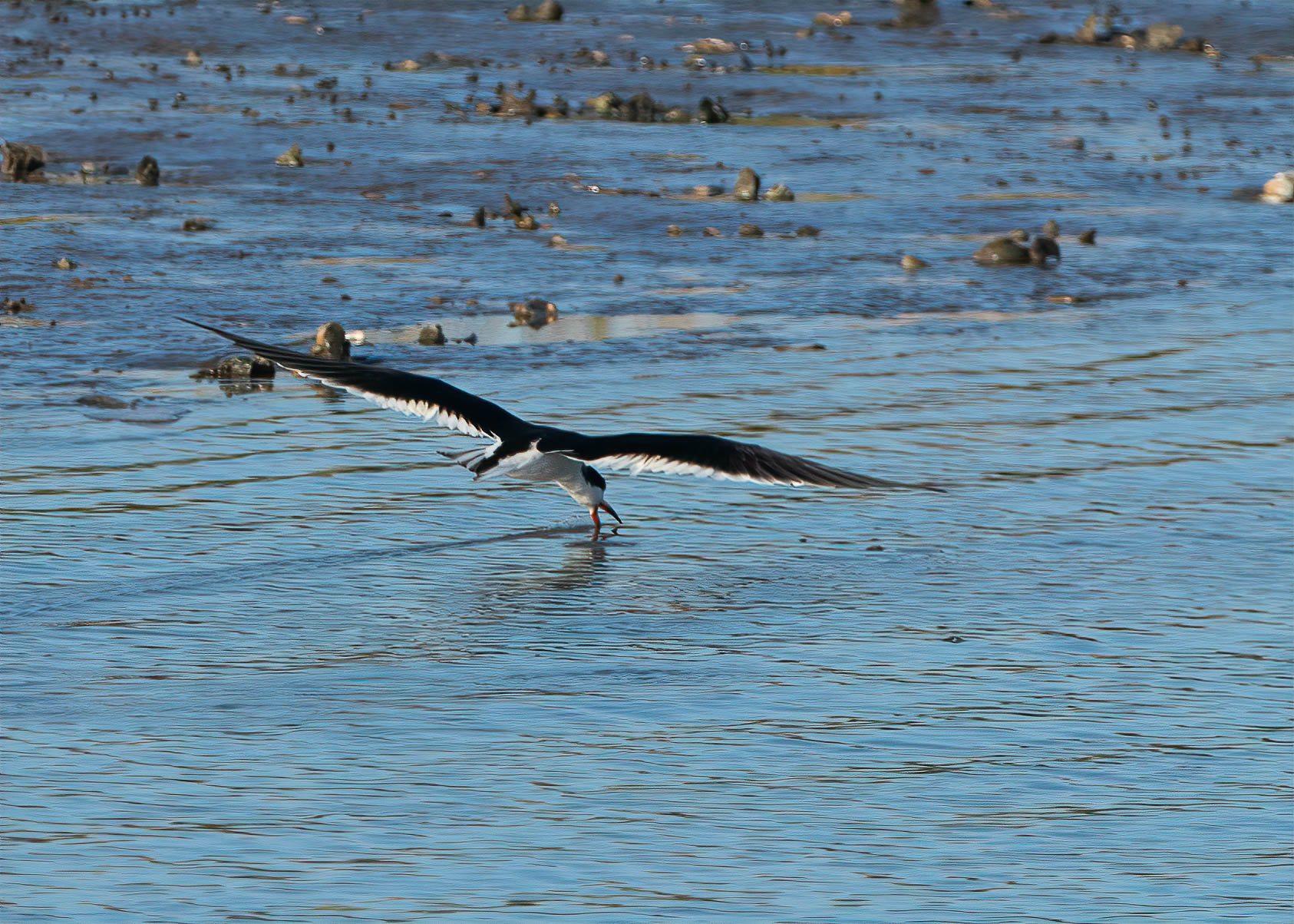 Black Skimmer skimming.