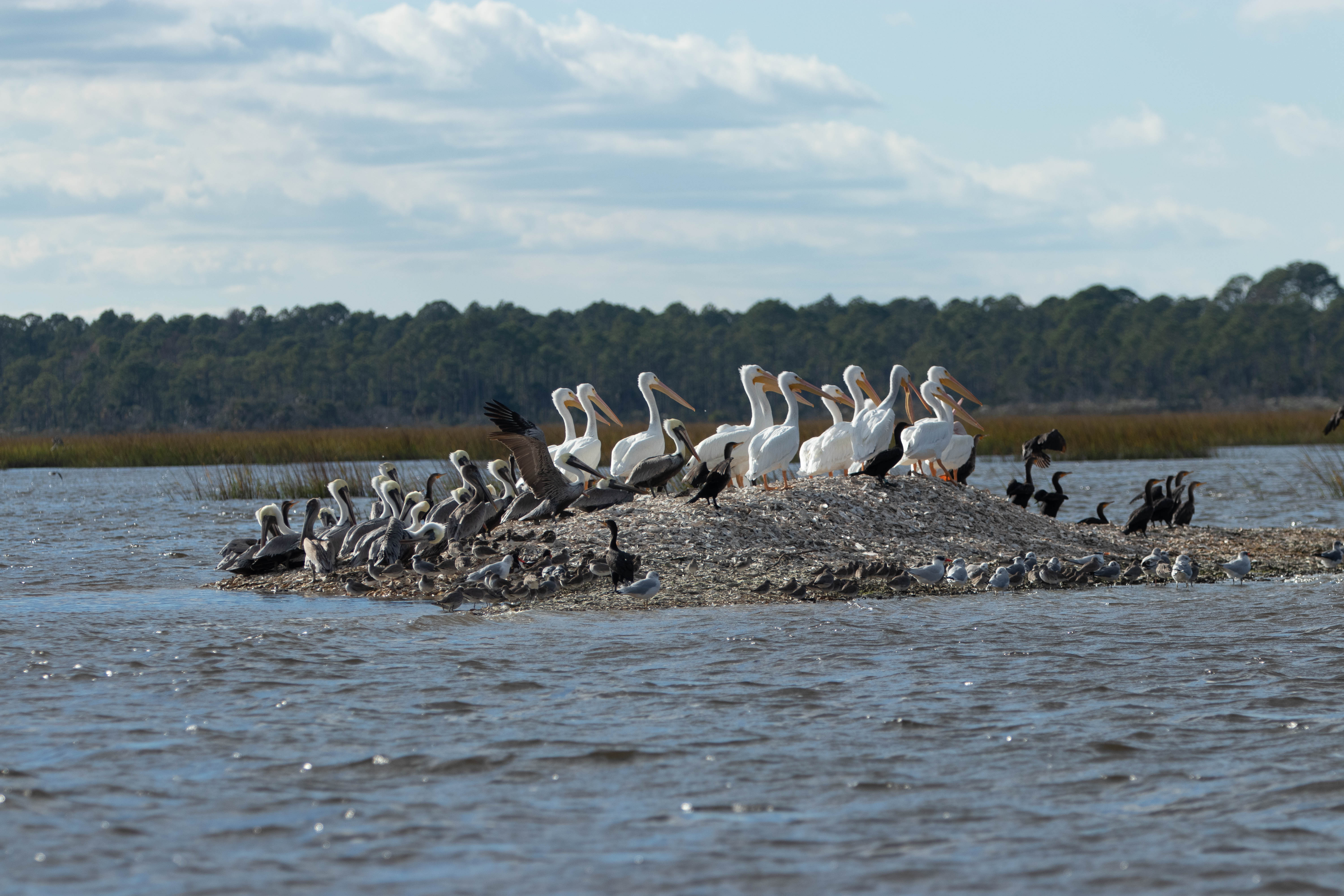 White Pelicans, brown pelicans, cormorants, and other shorebirds.