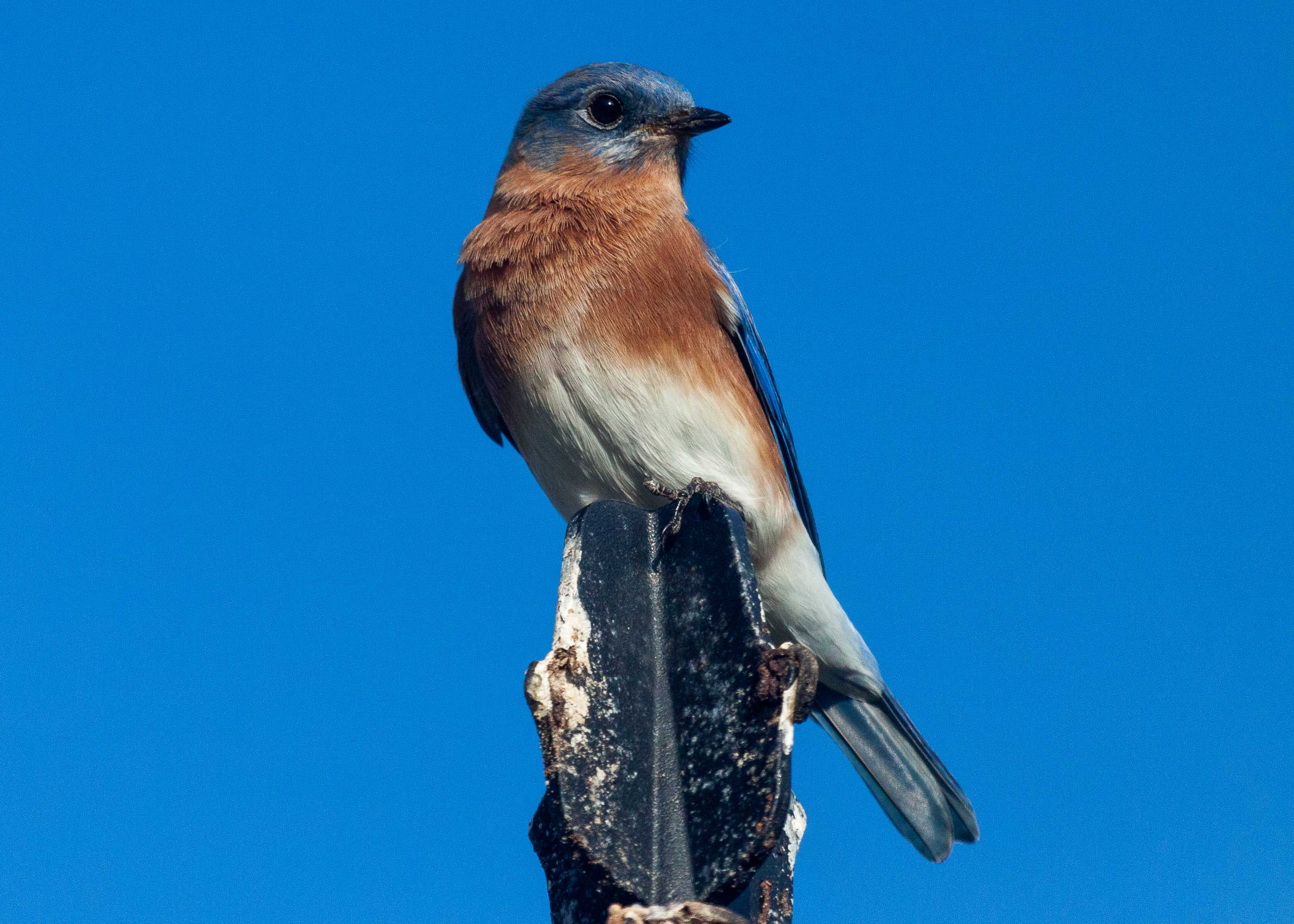 Bluebird in St Johns County, Florida.