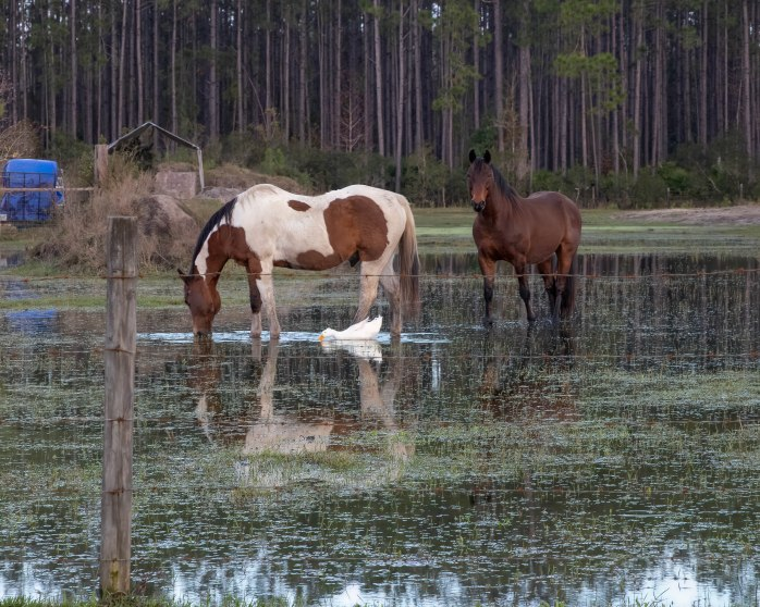 Two horses and a duck.